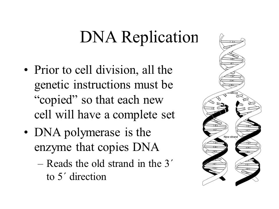 DNA Replication Prior to cell division, all the genetic instructions must be copied so that each new cell will have a complete set.