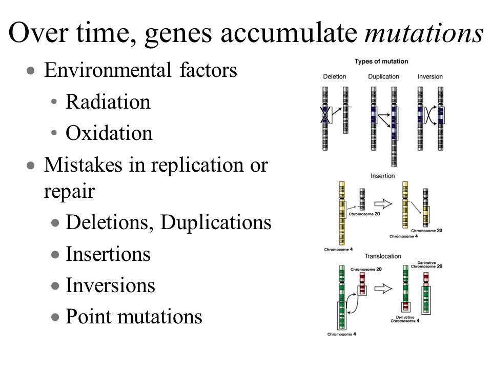 Over time, genes accumulate mutations