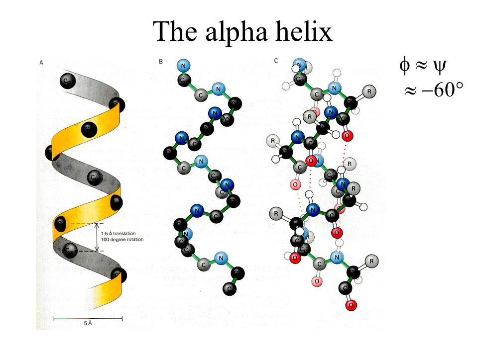 The alpha helix     60°
