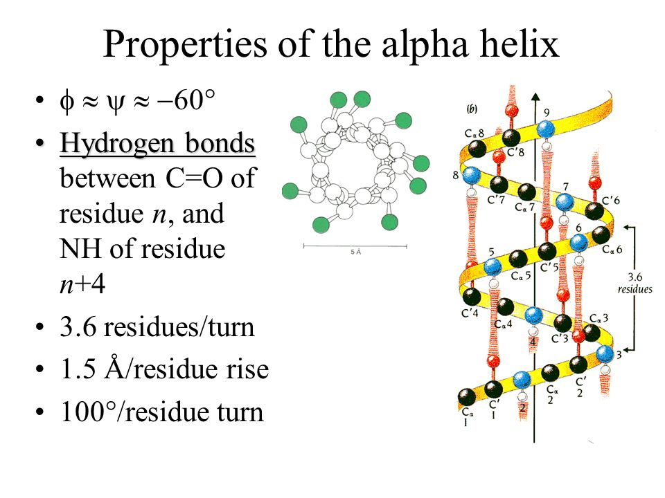 Properties of the alpha helix
