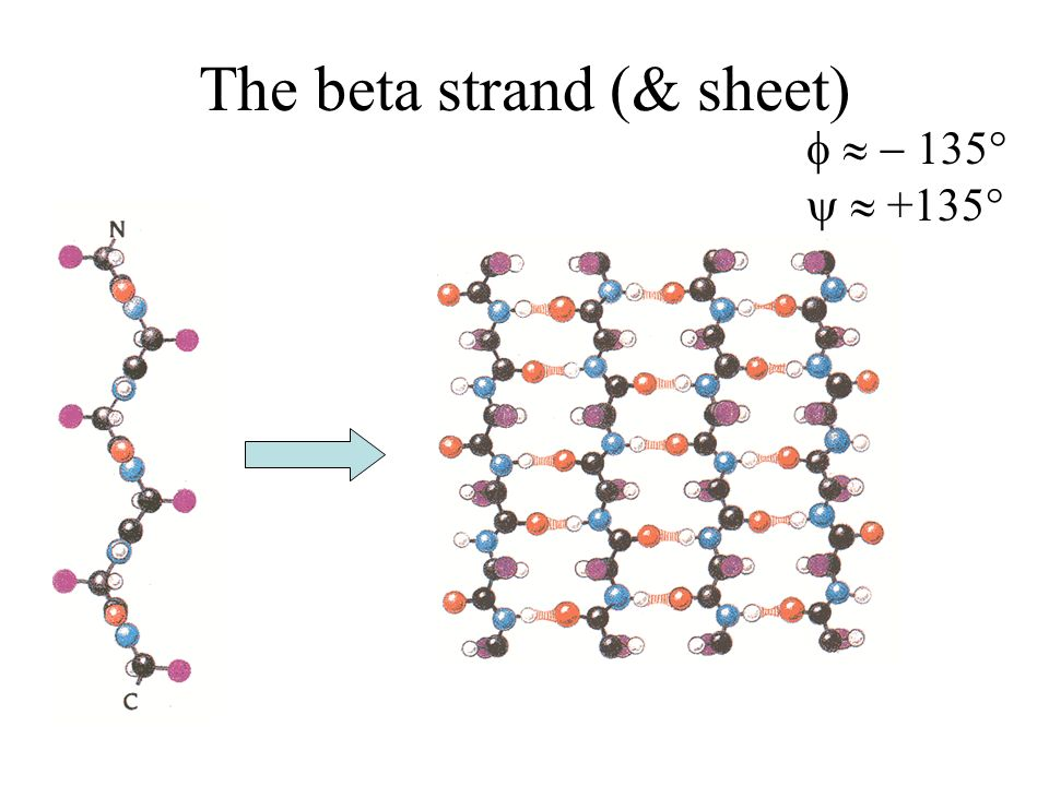 The beta strand (& sheet)