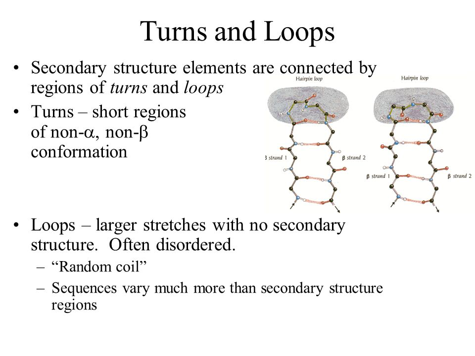 Turns and Loops Secondary structure elements are connected by regions of turns and loops. Turns – short regions of non-, non- conformation.