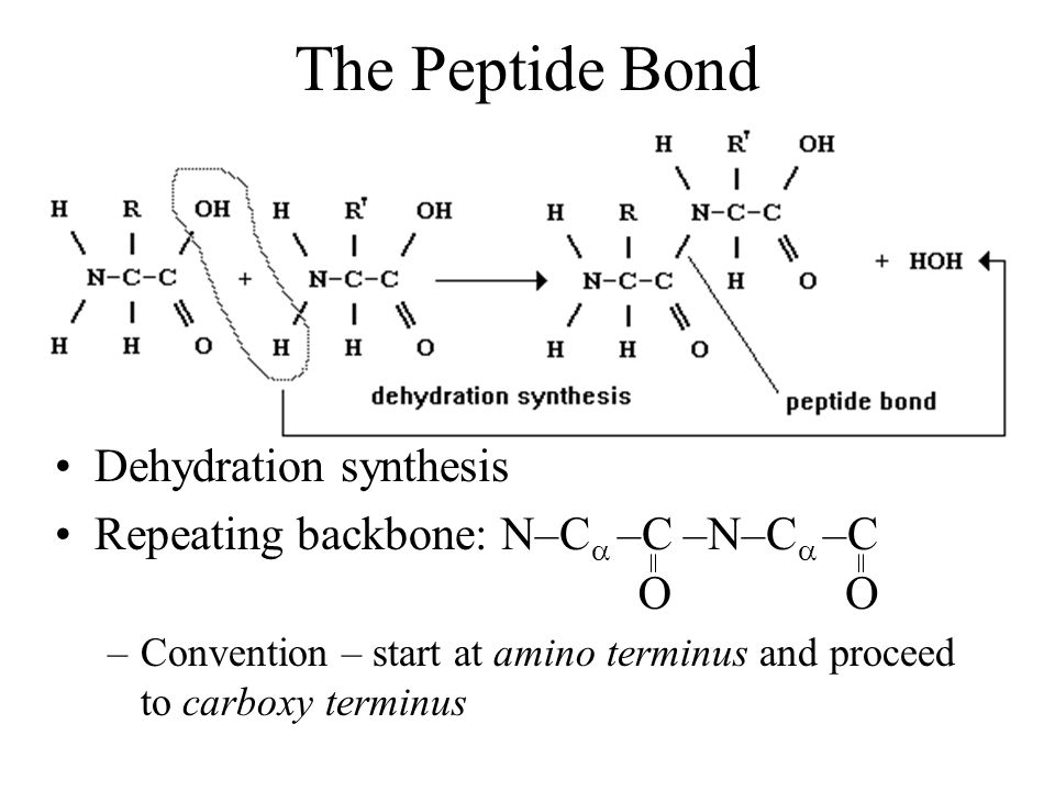 The Peptide Bond Dehydration synthesis