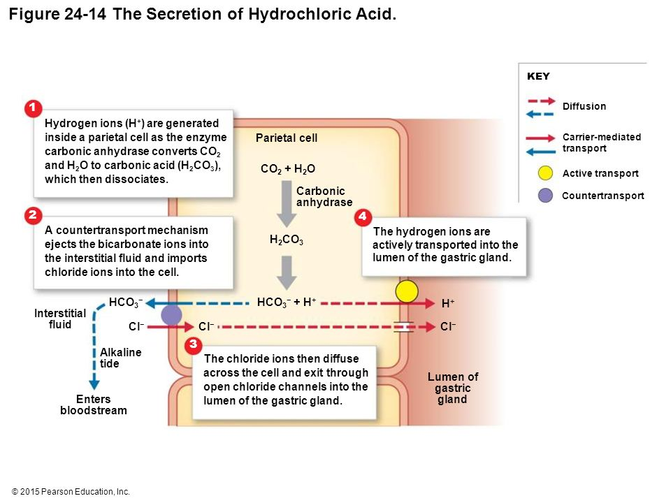 gastric acid hydrochloric acid in the Hypochlorhydria is a deficiency of hydrochloric acid in the stomach stomach secretions are made up of hydrochloric acid, several enzymes, and a mucus coating that protects the lining of your stomach.