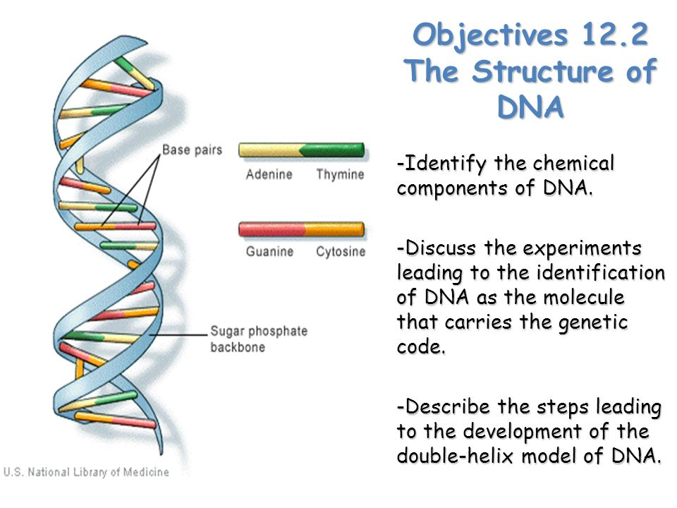 1 describe the structure of dna As technology has advanced, more and more studies into the structure of the dna molecule have been completed because of these studies, it is now known that humans and chimpanzees share 99% of their dna this means that it is only a 1% difference in the genetic code that accounts for all the differences between you.