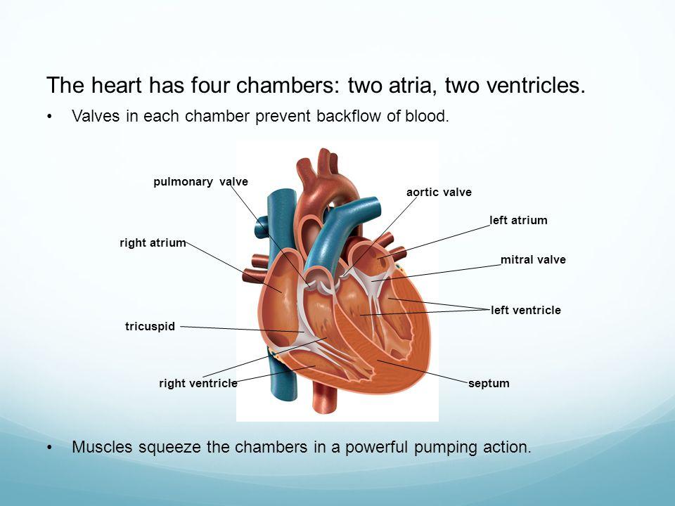 Name four main chambers of the heart