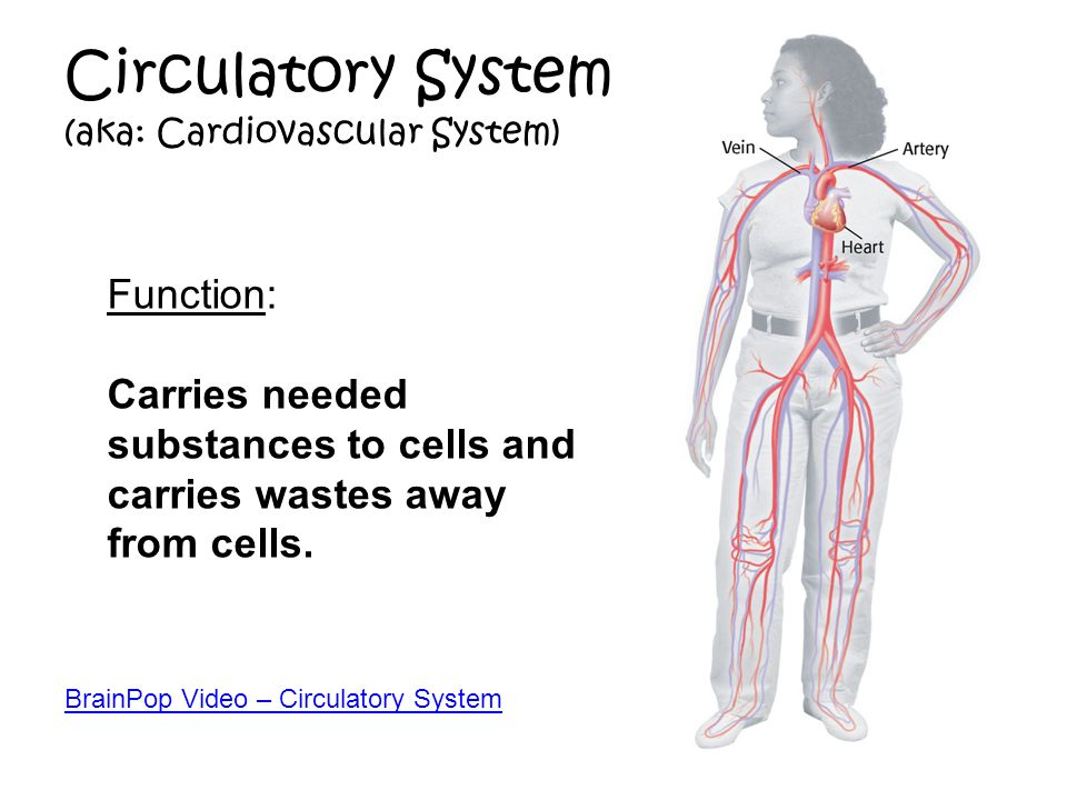 Circulatory System Function A