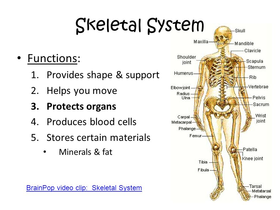 Skeletal System Functions: Provides shape & support Helps you move