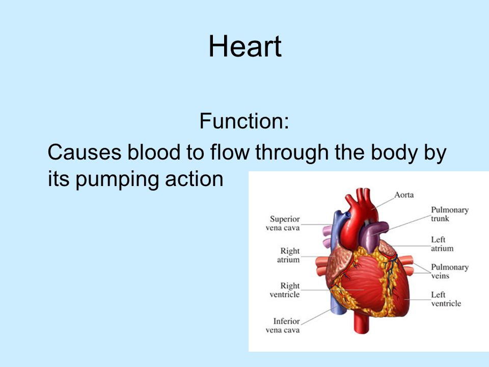 Function: Causes blood to flow through the body by its pumping action
