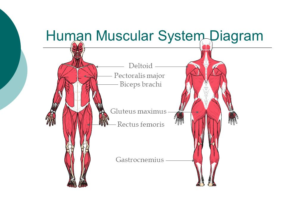 Human Muscular System Diagram For Kids Animalcarecollegefo