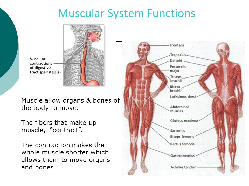 Human body systems labeled