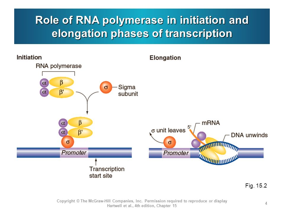 the role of rna polymerase and Rna polymerase is commonly know as dna-dependent rna polymerase it catalyzes the transcription of dna to synthesize precursors of mrna and most snrna and microrna it is found in the core of eukaryotic cells.