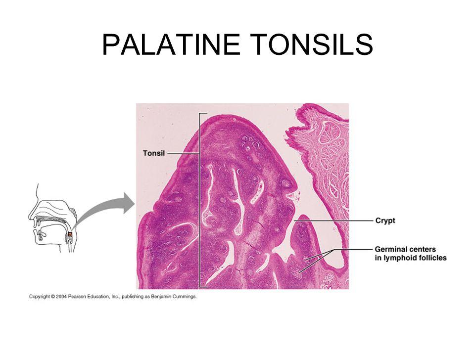 palatine tonsils - Boat.jeremyeaton.co