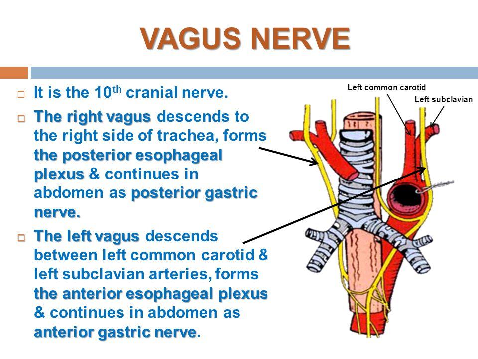 Vagus Nerve Anatomy Ppt Gallery - human body anatomy