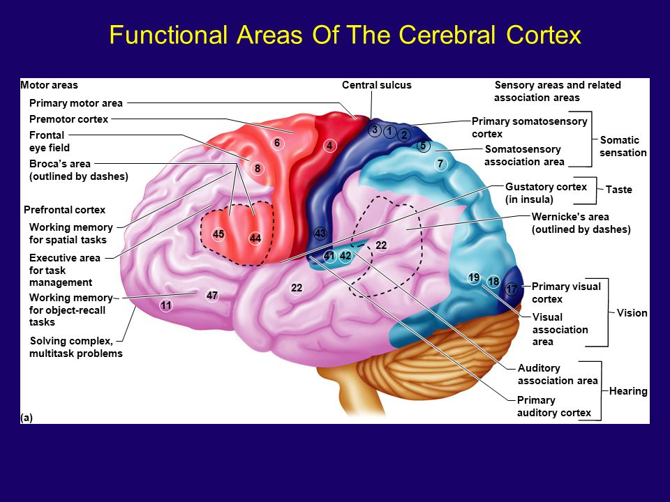 the cerebral cortex Folds in the cerebral cortex in mammals are believed to be indispensable for  higher brain functions but the mechanisms underlying cortical.
