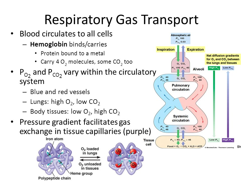 Gas Exchange Chapter Ppt Download