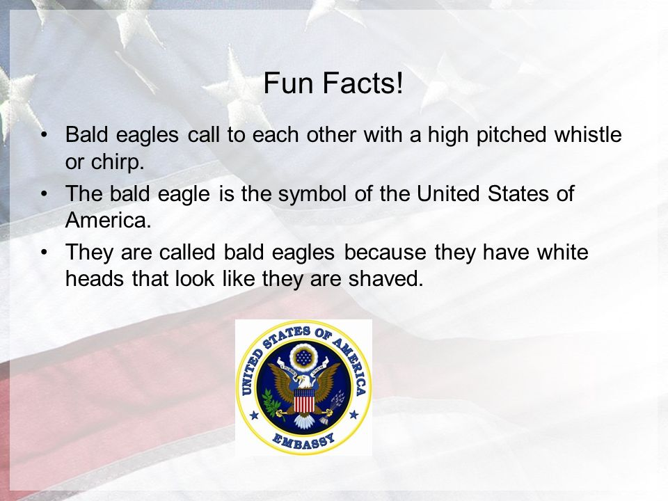 The amazing bald eagle by evan perona ppt video online for Fun facts about america