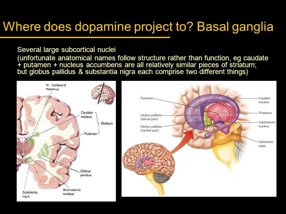 Where does dopamine project to Basal ganglia