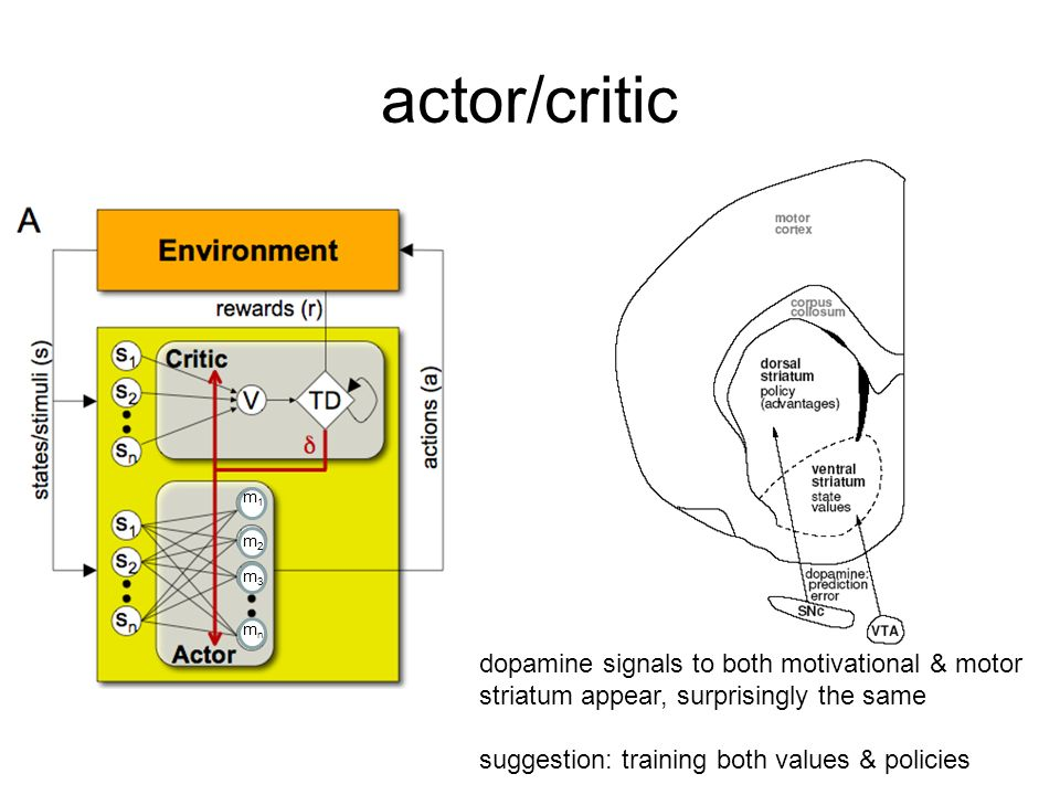 actor/critic m1. m2. m3. mn. dopamine signals to both motivational & motor striatum appear, surprisingly the same.