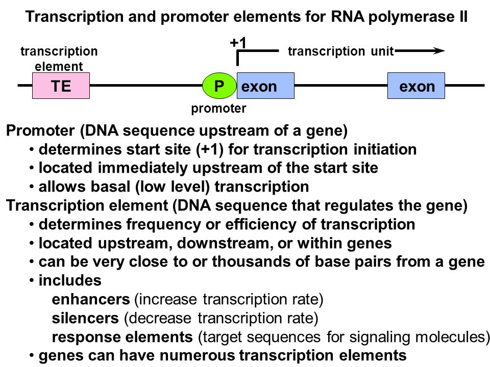 Transcription and promoter elements for RNA polymerase II