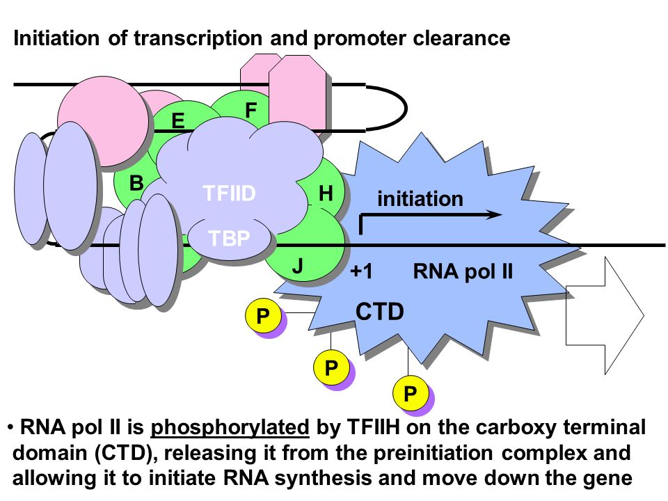 CTD Initiation of transcription and promoter clearance F E B TFIID H
