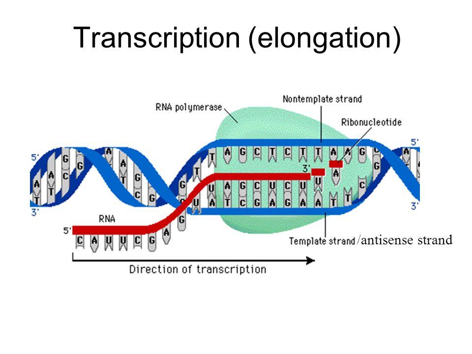 Transcription (elongation)