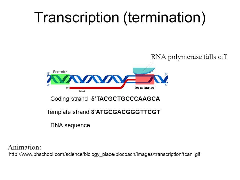 Transcription (termination)