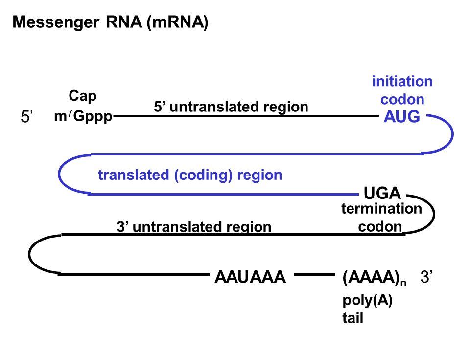 Messenger RNA (mRNA) 5' AUG UGA AAUAAA (AAAA)n 3' initiation codon Cap