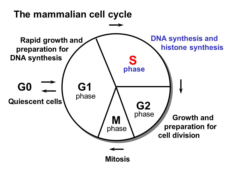 S G0 G1 G2 M The mammalian cell cycle DNA synthesis and