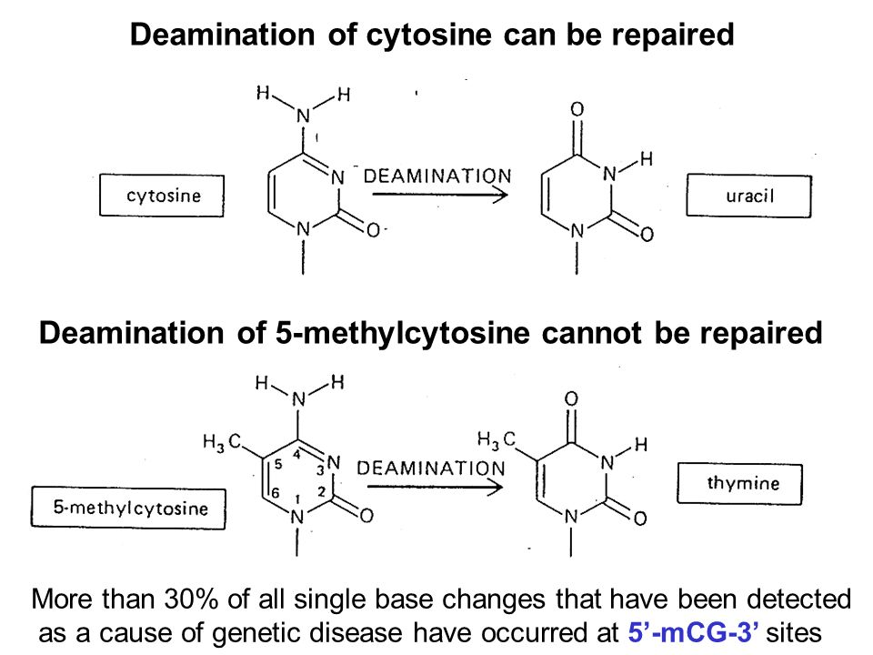 Deamination of cytosine can be repaired