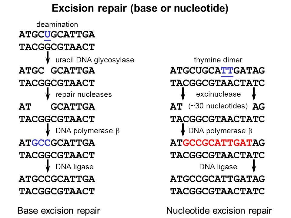 Excision repair (base or nucleotide)