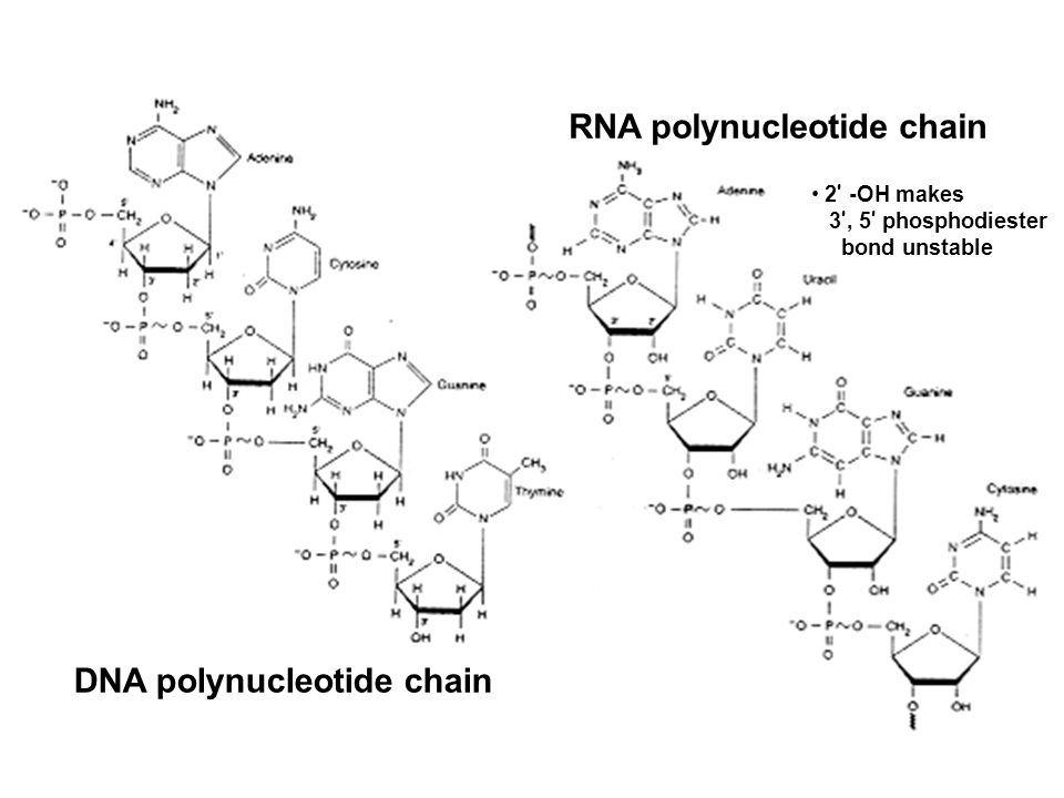 RNA polynucleotide chain