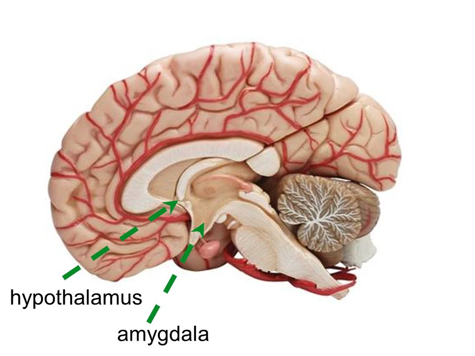hypothalamus amygdala