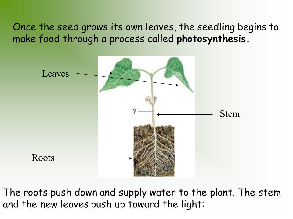 A Seed Story Plants Come From Seeds Each Seed Contains A