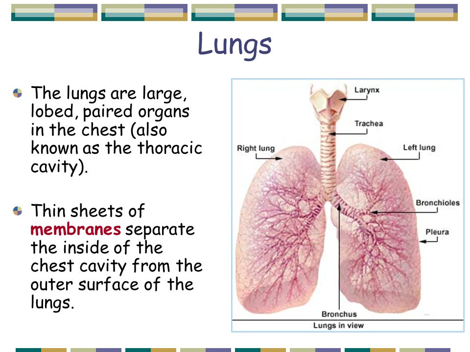 the lungs Lungs, the main respiratory organ of the body is one of the most essential organ of the body checkout 10 interesting facts about lungs that you must know.