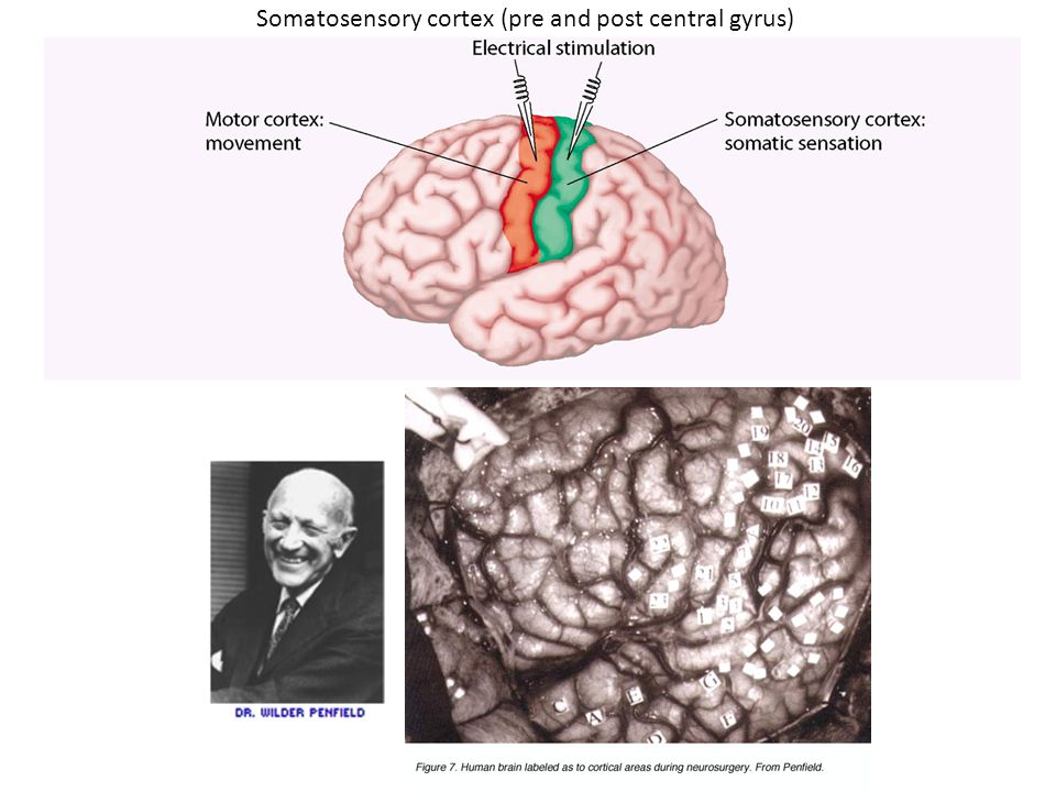 Somatosensory cortex (pre and post central gyrus)