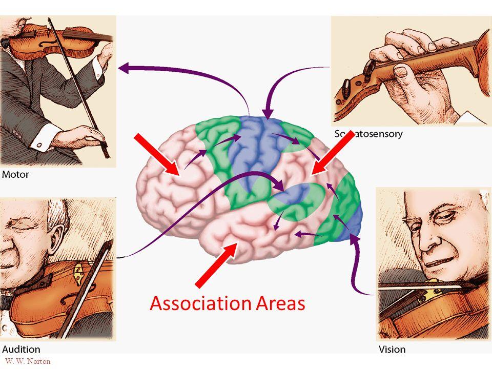 03-18 Association Areas W. W. Norton