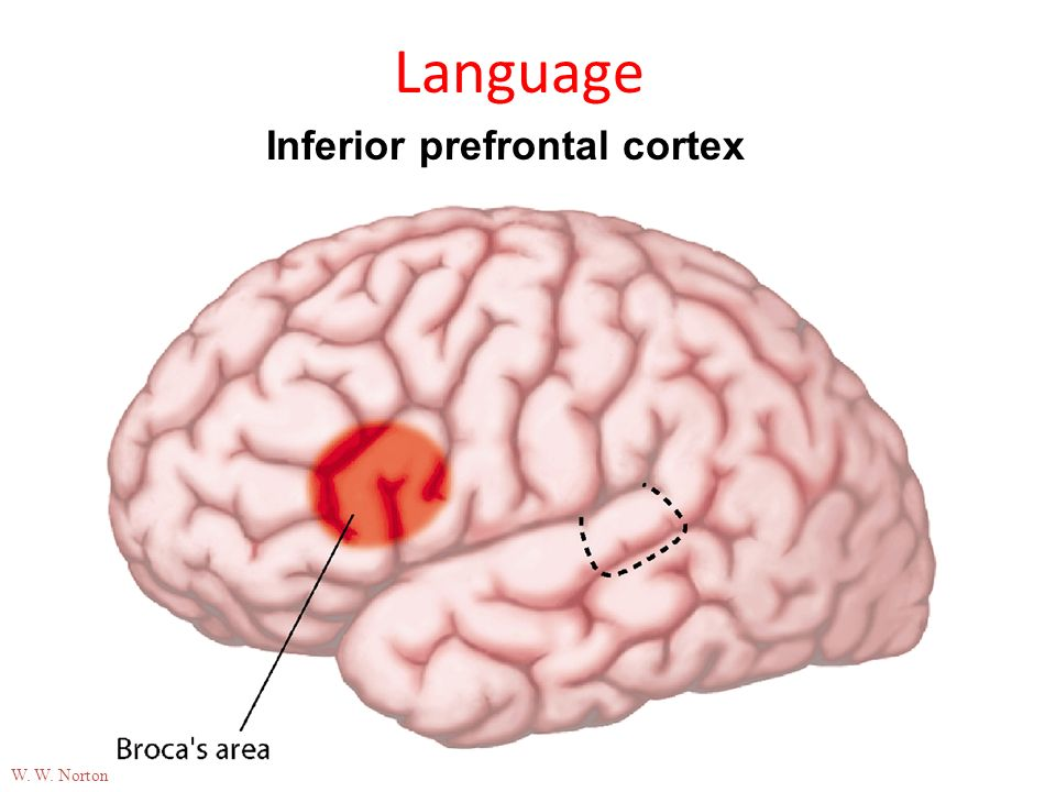09-24b Language Inferior prefrontal cortex W. W. Norton