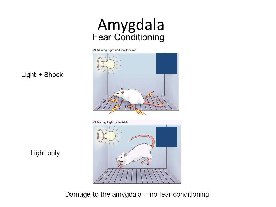 Amygdala Fear Conditioning Light + Shock Light only