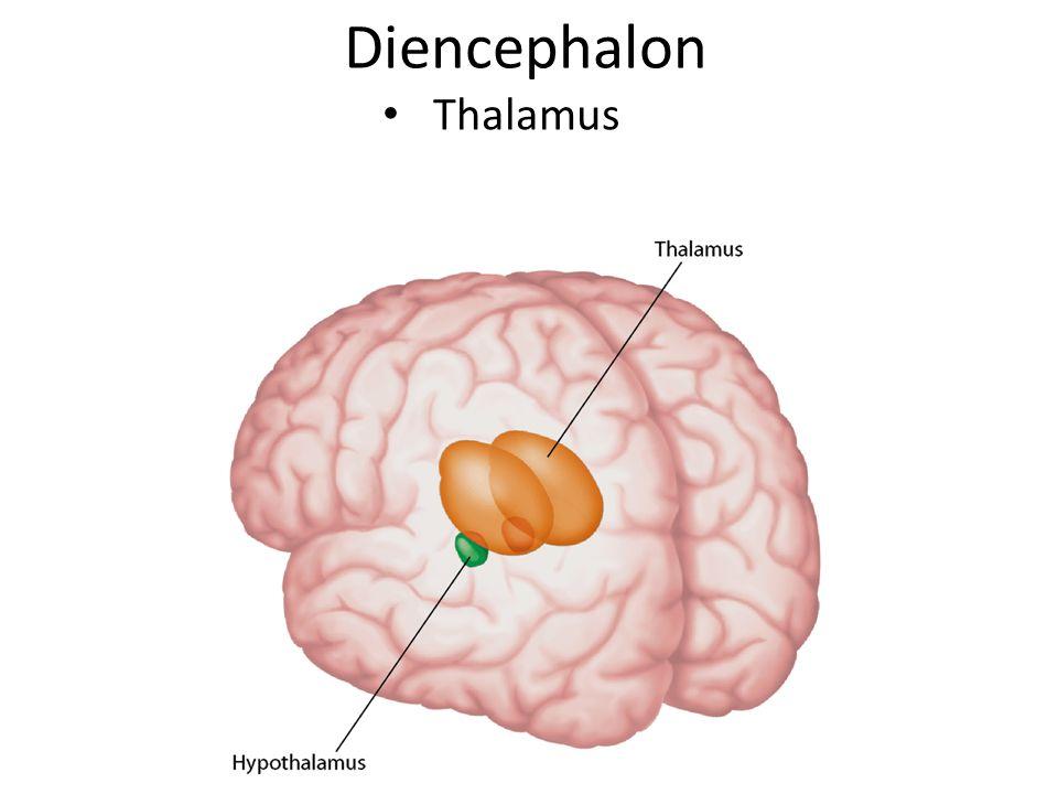 Diencephalon Thalamus