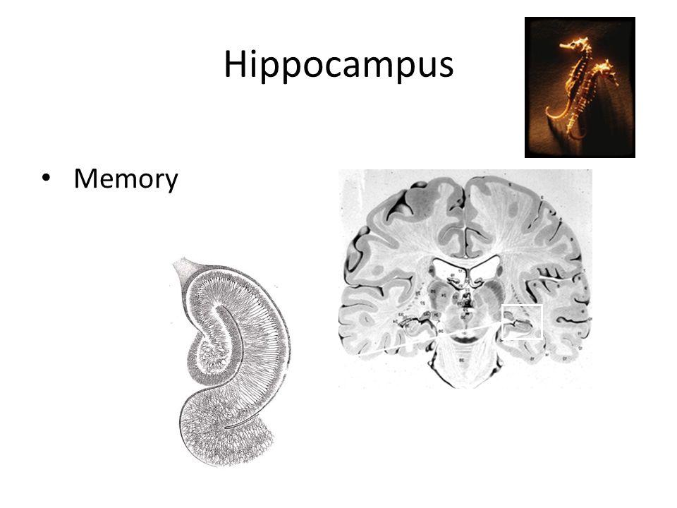 Hippocampus Memory