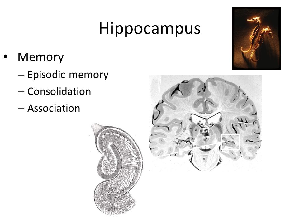 Hippocampus Memory Episodic memory Consolidation Association