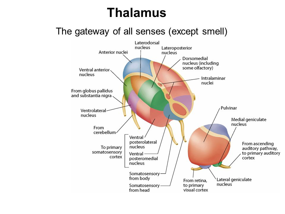 Thalamus The gateway of all senses (except smell)