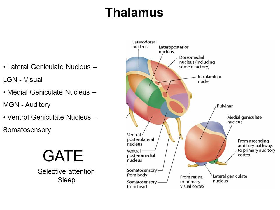 GATE Thalamus Lateral Geniculate Nucleus – LGN - Visual