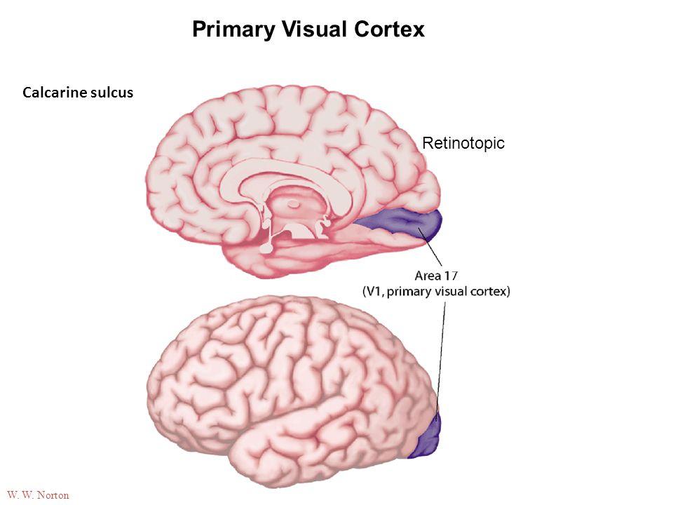 05-07 Primary Visual Cortex Calcarine sulcus Retinotopic W. W. Norton
