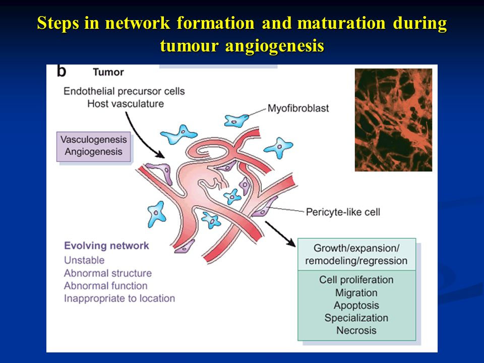 Steps in network formation and maturation during tumour angiogenesis