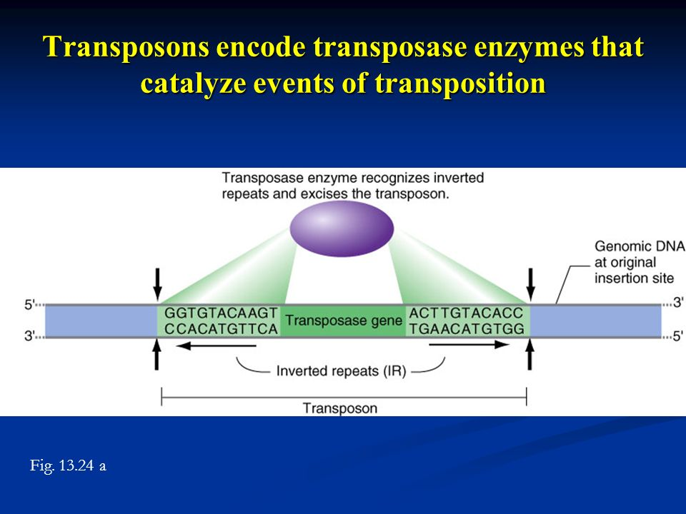 Transposons encode transposase enzymes that catalyze events of transposition