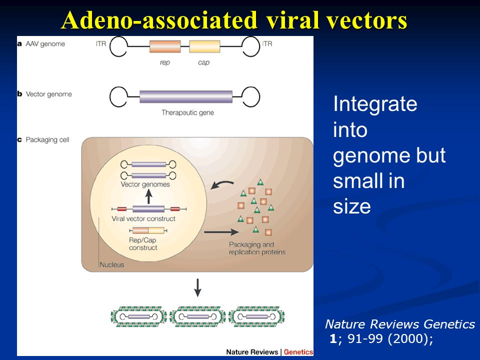 Adeno-associated viral vectors