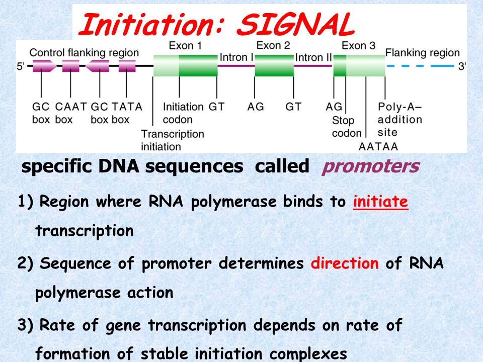 Initiation: SIGNAL specific DNA sequences called promoters