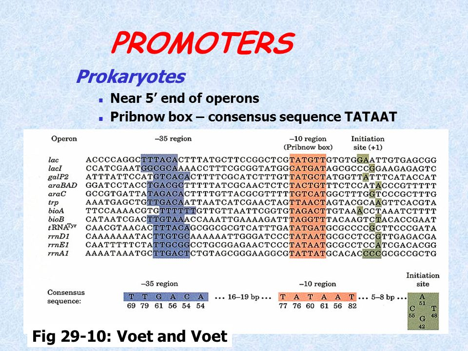 PROMOTERS Prokaryotes Fig 29-10: Voet and Voet Near 5' end of operons